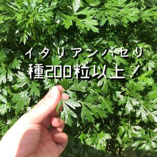 千葉県産イタリアンパセリの種たっぷり200粒以上、即日発送(ドライフラワー)