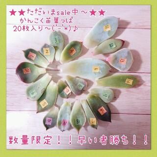 只今sale中~★韓国苗葉挿し20枚に多肉植物(その他)