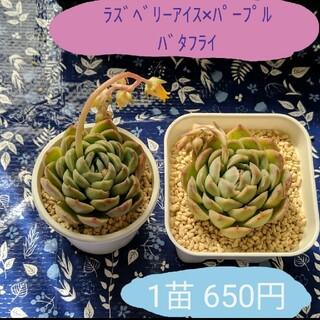 韓国輸入苗 ◆Raspberry Ice ×Purple Butterfly◆(その他)