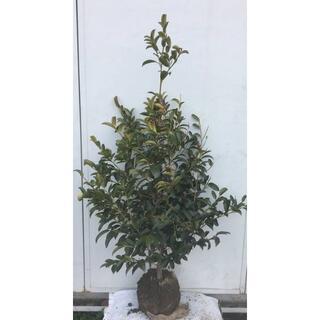 《現品》本榊(ホンサカキ)樹高1.2m 57(根鉢含まず)《苗木/植木/さかき》(その他)