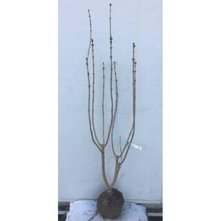 《現品》ライラック 紫花 樹高1.3m(根鉢含まず)14【リラの木/苗木/植木】(その他)