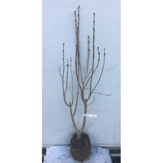 《現品》ライラック 紫花 樹高1.1m(根鉢含まず)15【リラの木/苗木/植木】(その他)