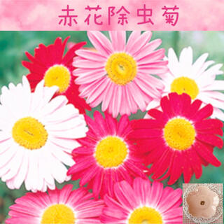 はっきりした色合いが可愛い♡『赤花除虫菊混合色』花の種20粒(その他)