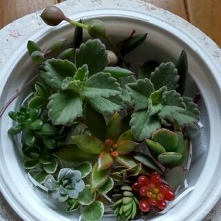 多肉植物  サンライズマム、胡蝶の舞など 寄せ植えセット(その他)