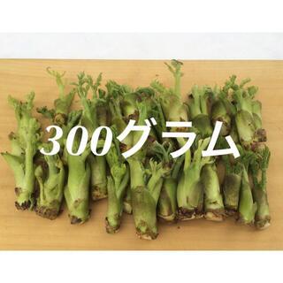 山形県産 タラの芽 水耕栽培 300グラム(野菜)