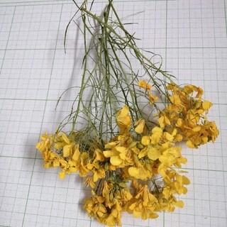 茎付き菜の花ドライフラワー①(ドライフラワー)