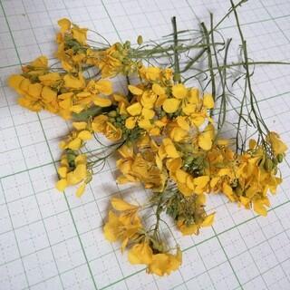 茎付き菜の花ドライフラワー③(ドライフラワー)