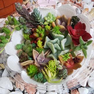 多肉植物 カット苗抜き苗   27(その他)