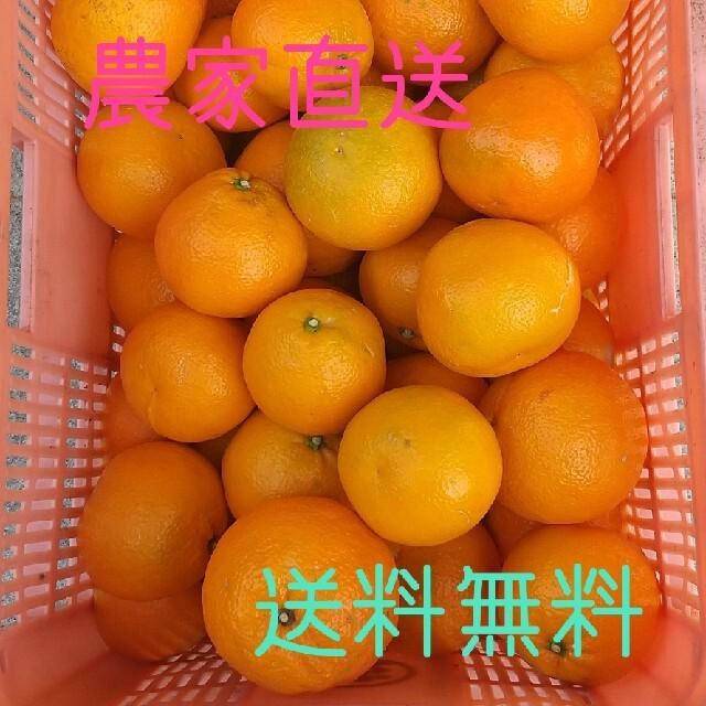 愛媛県産宮内伊予柑10kg(訳有りお買い得) 食品/飲料/酒の食品(フルーツ)の商品写真