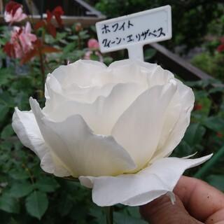 15cm程の小さな苗、薔薇🌹『ホワイトクィーン・エリザベス』🌹挿し木苗(ドライフラワー)