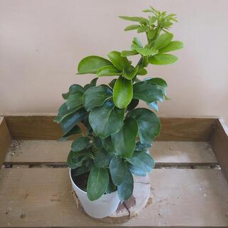 観葉植物 シェフレラ チャングリーン(その他)