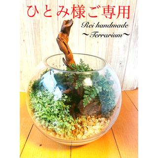 ひとみ様 ご専用  癒しのシダと苔と流木のテラリウム 流木(その他)