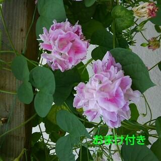 あさがお ピンクの八重咲き朝顔スプリットペダル種➕おまけ付き(その他)