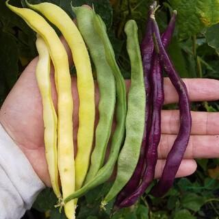 特大 多収穫つるアリインゲン カラフルな野菜の種(その他)