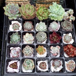 [お買い得♪]多肉植物 韓国苗25種類セット(その他)