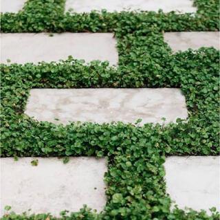 【最安値】ダイカンドラ 30g種子[2平米]お洒落なグランドカバー芝生♪♪(その他)