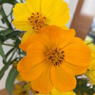 コスモスの種 黄色&オレンジ(その他)