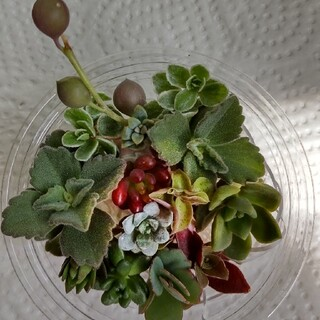 多肉植物 コスミダトム、紅葉祭り、レッドベリーなど寄せ植え セット(その他)