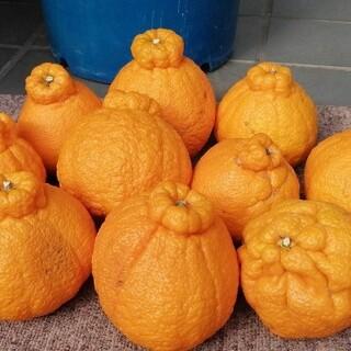 デコポン熊本 三角 天草産 10~15玉約5kg(箱込) 不知火しらぬい新品種(フルーツ)