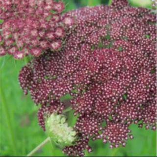 花の種 ブラックレースフラワー 種子