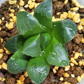多肉植物 ハオルチア *パルバ* 抜き苗