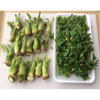 山形県産 山菜2種 タラの芽 うこぎセット