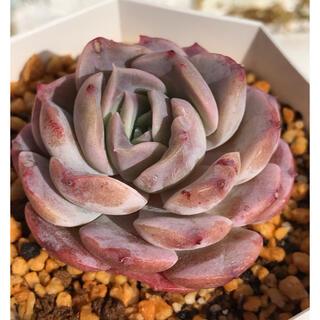 多肉植物  韓国苗  パープルエリオ  カット苗‼️(その他)