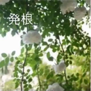 ♡D♡アルベリックバルビエ♡可愛いお庭♡(ホワイトガーデン アンティーク(その他)