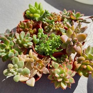 【値下げ】碧魚連入り!多肉植物カット苗20種セット(その他)