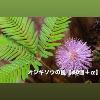 オジギソウの種 【40個+α】(その他)