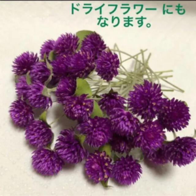 千日紅の種 5種 ハンドメイドのフラワー/ガーデン(その他)の商品写真