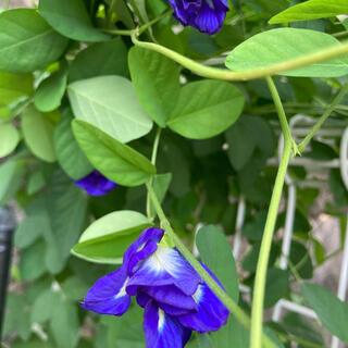 バタフライピー八重咲き 種25粒(プランター)
