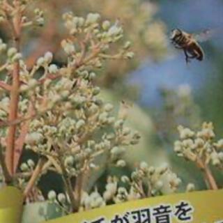 残り僅か蜜源 3〜5月種蒔 ハチミツソウ種100個 ビービーツリー種50個(野菜)
