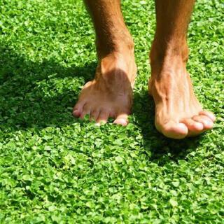 【最安値】ディコンドラ 15g種子[まずはお試し]お洒落なグランドカバー芝生♪♪(その他)