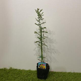 ミモザ アカシア ギンヨウアカシア 苗 高さ約45cm-50cm前後(その他)
