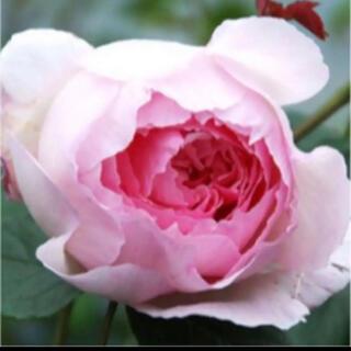 バラ苗 W 1 花つき花もち良いE R(その他)