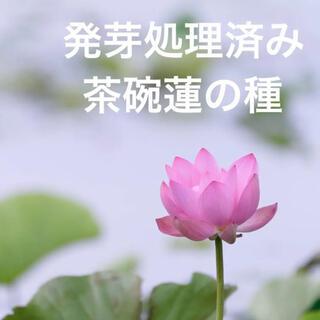 【茶碗蓮】ハスの種 10粒【発芽加工種子】(その他)