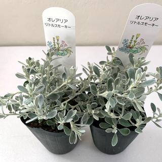 ポット苗 3個セット オレアリア リトルスモーキー シルバーリーフ 寄植え(その他)