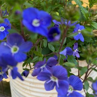 ★ベロニカ・オックスフォードブルーの苗★これから咲く花(その他)