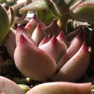 ご確認ページ多肉植物韓国苗ハニーピンク、プロリフェラ錦(その他)