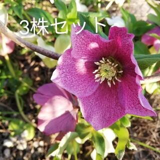 クリスマスローズ 苗3株(その他)