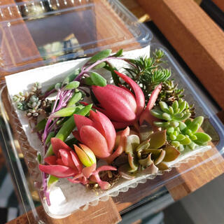多肉植物 セダムセット