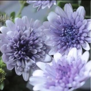 花の苗 ダブルオステオスペルマム シルバー(その他)