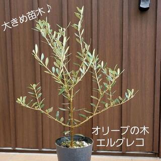 大きめ鉢植え♡オリーブの木 エルグレコ13  苗木 観葉植物 シンボルツリー♪