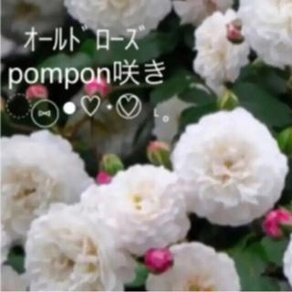 ✴️ オールドローズ pompon咲き 元気苗 ✴️(その他)