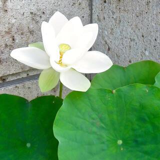 小型種・花ハスの蓮根 3節以上もの1本
