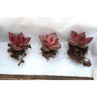 特価‼️多肉植物 エケベリア ロビン小さめ 3苗セット抜き苗7