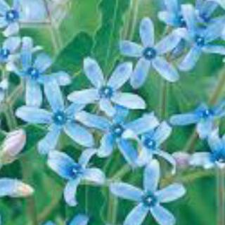 花の苗 オキシペタラム ブルースター 苗(その他)