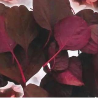 ハーブの種 アマランサス レッドベルベッド 種子(野菜)