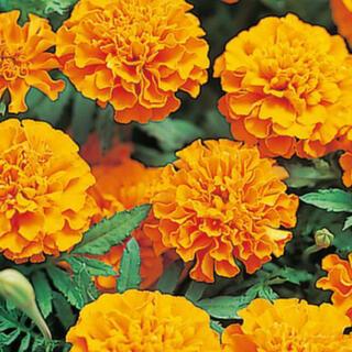 花の種 フレンチマリーゴールド ボナンザオレンジ 種子(その他)